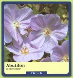 Abutilon X Suntense