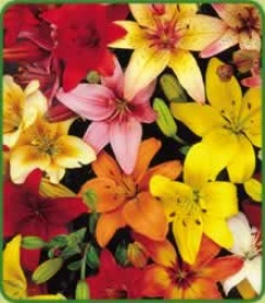 Asiatic Lily Mixture X 6