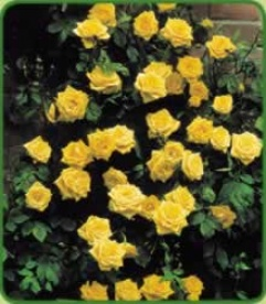 Golden Climbing Rose Shower X 2