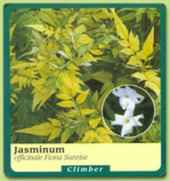 Jasminum Officinale 'fiona Sunrise'