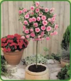 Meilandina Miniature Rose Pink