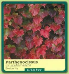 Parthenocissus Tricupidata 'veitchii'