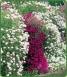 Aubretia Wall Rockery Garden x18