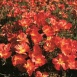 Californian Poppy Strawberry Fields Seeds