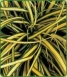 Carex 'everyold'