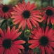 Echinacea Red Cone Flower Seeds