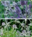 Eryngium Collection