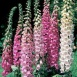 Foxglove Excelsior Hybrids Mixed Seeds