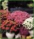 Jappanese Chrysanthemum  X 10