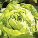 Lettuce All Year Full Seeds