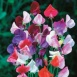 Sweet Pea Heirloom Mix Seeds